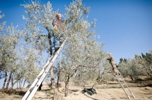zbiór oliwek w Toskanii